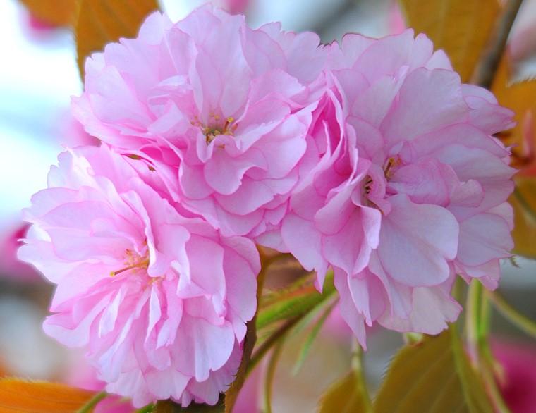 Sakura Fleurs De Cerisier Du Japon Sakura Baillargues Herault